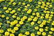 Garden of Yellow Marigolds