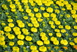 Background of Yellow Marigolds