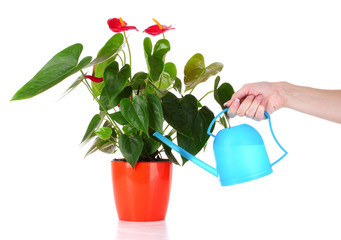 Woman's hand  waters flowers
