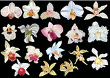 isolated on black light orchids collection poster