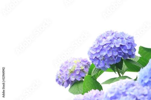Foto op Canvas Hydrangea 紫陽花