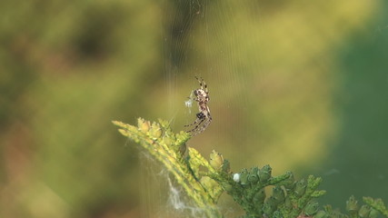 Spider in a web wavers on a wind.
