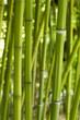 Fototapeten,bambus,gras,halm,rohr