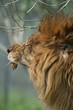 ライオンあくび