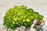 Bunch of green sea algae poster