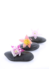 Columbine flowers on a spa stones on white background