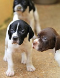 Pedigree Pointer dog puppies with only 1 month of life poster