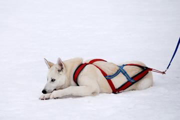 white husky on snow landscape