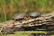 Pair of Painted Turtles (Chrysemys picta) Basking on a Log