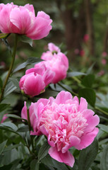 Beautiful Pink Peonies in Garden
