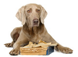 Weimaraner with book isolated on white poster