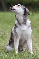 Husky - Jack il lupo