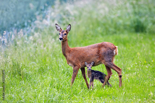 Fotobehang Ree doe with very young fawn, Capreolus capreolus