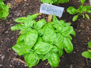 Basil plant, planta de albahaca.
