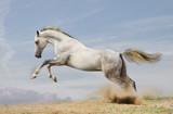 silver-white stallion on black - 33021986