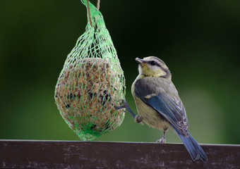hungry blue tit, garden