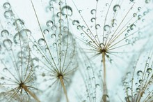 Dandelion seed with drops