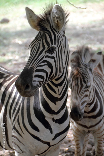 Zebra with offspring