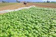 agriculture, basil field plantation