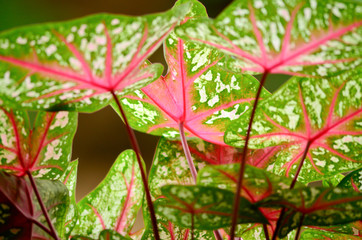 Glowing Angel's Wings Caladium.