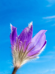 Pasque Flower close-up against blue sky