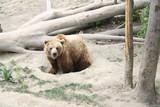 Ursul Berna