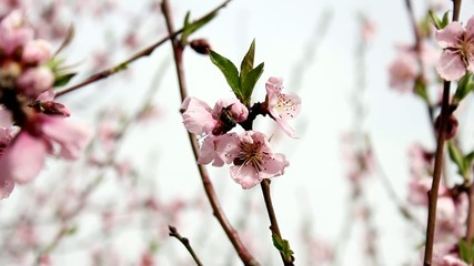 Peach Flower & Bee