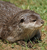 Small-clawed Otter 10