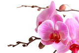 Fototapety Image of orchid flowers