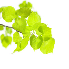 Summer or Spring Concept - Green Leaves isolated on white