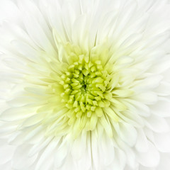 White Chrysanthemum Flower Head Closeup Detail
