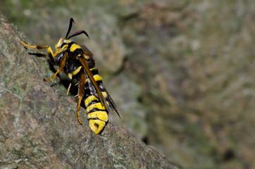 Hornissen Glasflügler, Schmetterling, Eiablage