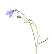 Harebell (Campanula rotundifolia) isolated