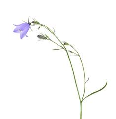 Harebell (Campanula rotundifolia) isolated