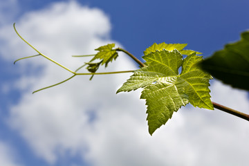 Grape vine leaf over cloudy sky