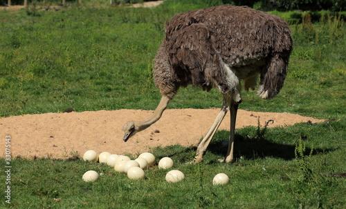 Femelle autruche d 39 afrique et ses oeufs photo libre de droits - Acheter oeuf d autruche ...