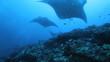 Mantas (Manta birostris), swimming in a row, Maldives