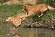zwei Hunde springen über einen Bach