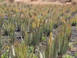 Aloevera-Feld