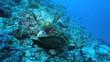 Maldive anemonefish (Amphiprion nigripes) in a sea anemone
