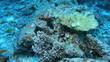 Scalefin anthias or Sea goldies (Pseudanthias squamipinnis)