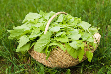 Basket with lettuce in grass