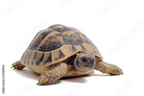Fotobehang Schildpad tortue Hermann