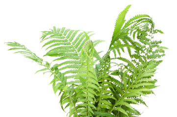 Wild fern bush  isolated