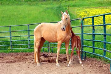 Guarding her newborn colt
