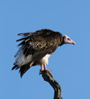 Whiteheaded vulture against blue sky