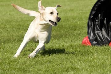 kraftvoller Hund im Agility-Kurs