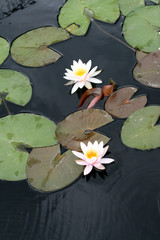 Water lilies in a pond
