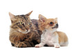 chiot chihuahua et chat main coon