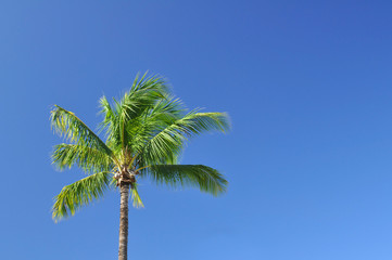 lone palm tree with blue sky